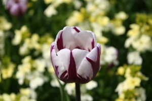 Tulip in the Quaker Memorial Garden, St Albans