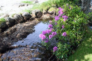 Flowering Rhododendrons next to Abhiann a Chaiginn Mhoir flowing into Loch Buie, Isle of Mull