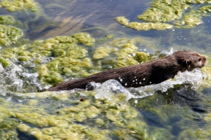 Swimming Oriental small-clawed otter