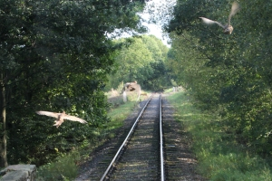 Pheasants flying in front of the train