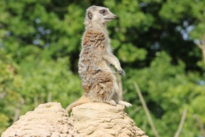 Meerkat at ZSL Whipsnade Zoo