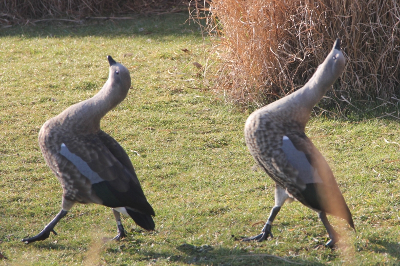 Strutting Geese at Wildfowl and Wetlands Trust, Barnes, London.