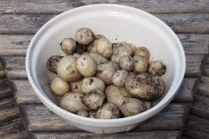 The first New Potato Harvest.