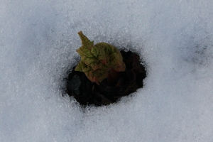 Rhubarb sprouting through the snow