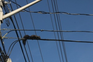 Black Squirrel on overhead cable in Port Credit