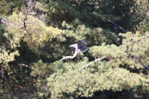 Heron taking flight at Tea Lake