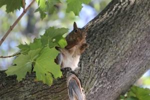 Squirrel in a Niagara-on-the-Lake tree
