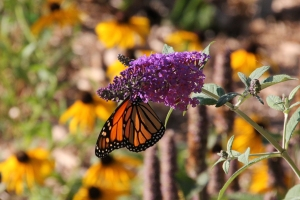 Southampton Butterfly
