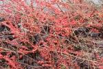 Red Berry laden shrub