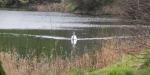Swan on Ryat Linn