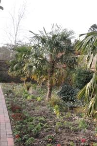 Palm Tree in Bishops Garden