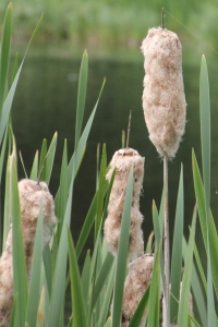 Bulrushes at Bingham's Pond