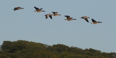 Skene of Geese over The Cob
