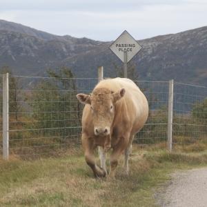 Bull in a passing place near Portnancon