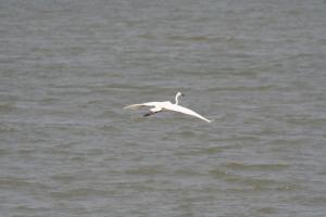 Heron in flight at Luk Keng